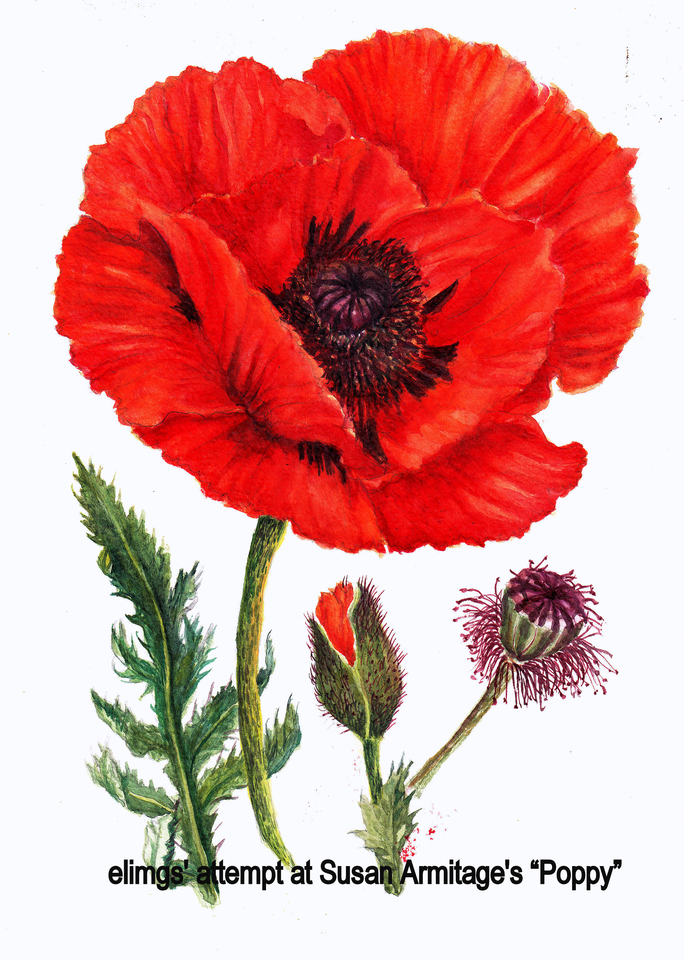 Painting kuching in watercolour not your usual postcard - How to paint poppy flowers ...